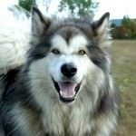 Malamut de Alaska 11
