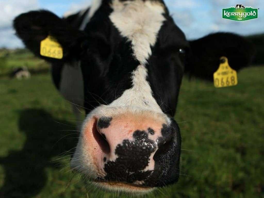 Vaca irlandeza grass fed Kerrygold